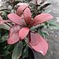 #3 Cleyera japonica/Japanese