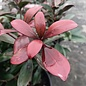 #7 Cleyera japonica/Japanese