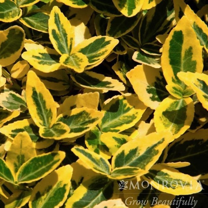 #2 Euonymus j Emerald 'n Gold