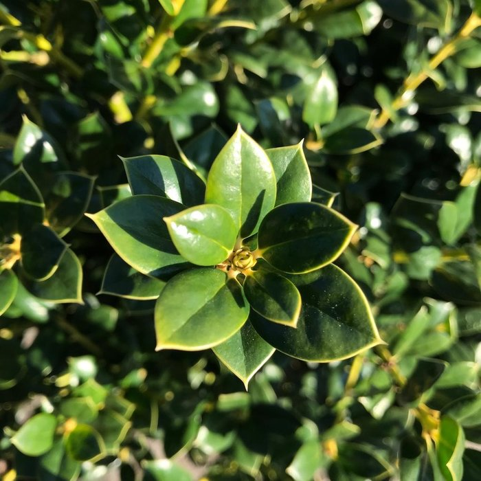 #7 Ilex cor Burfordii Nana/Dwarf Burford Chinese Holly