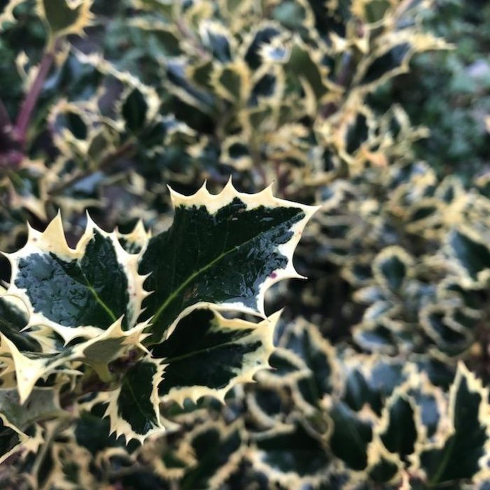 #5 Ilex aquifolium Sadezam/Santas Delight Variegated English Holly Female