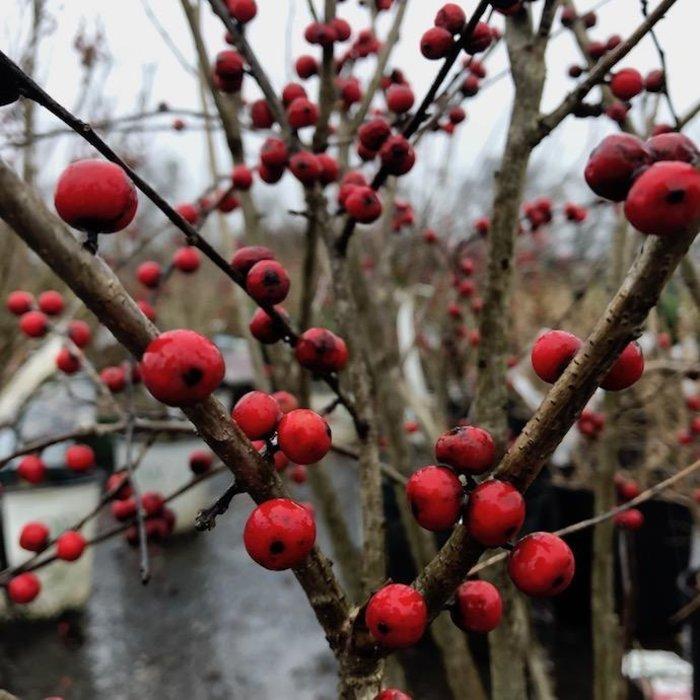 #3s Ilex vert Berry Nice/ Winterberry Holly Deciduous Female