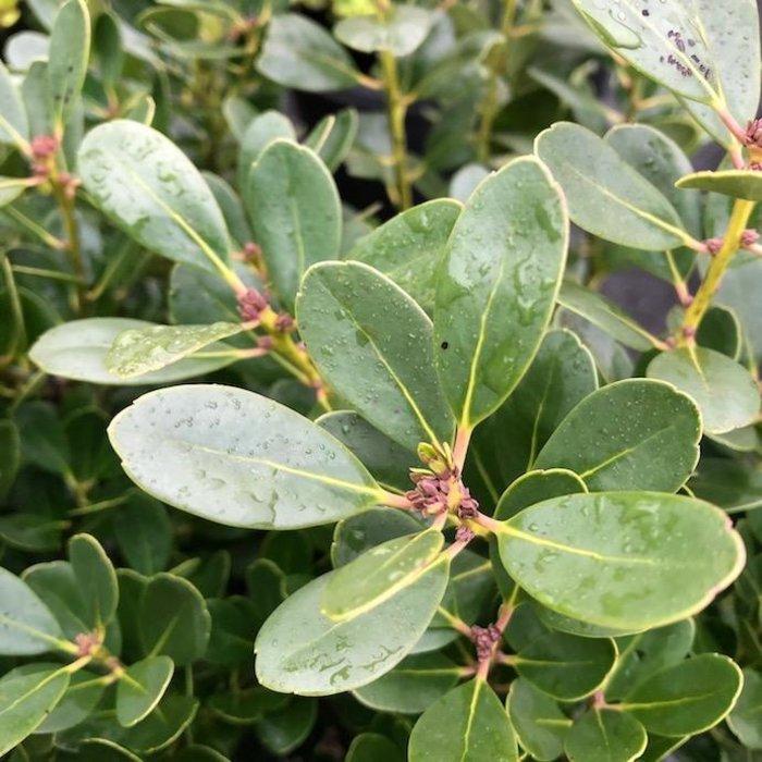 #3 Ilex glabra Densa/Inkberry Holly (female)
