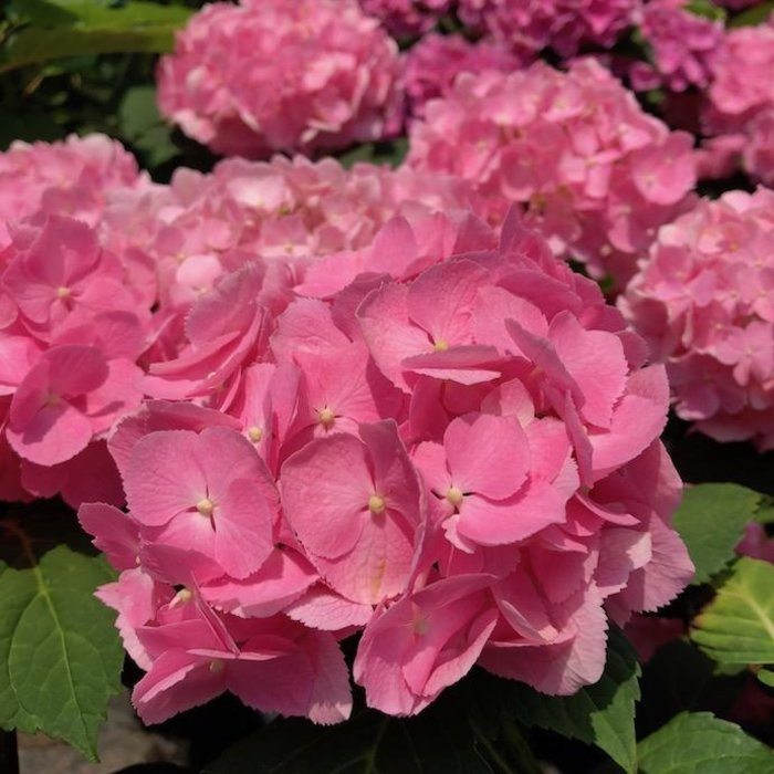 #1 Hydrangea mac Big Easy (Let's Dance)/Bigleaf/Mophead Rebloom Lavender to Pink