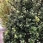 #15 Ilex cre Steeds/Japanese Holly Pyramidal (female)