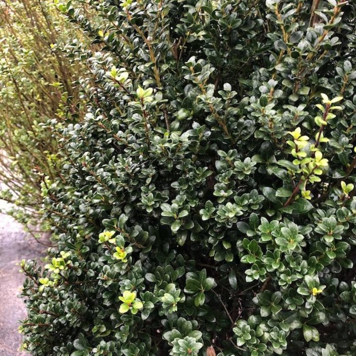 #7 Ilex cre Steeds/Japanese Holly Pyramidal (female)
