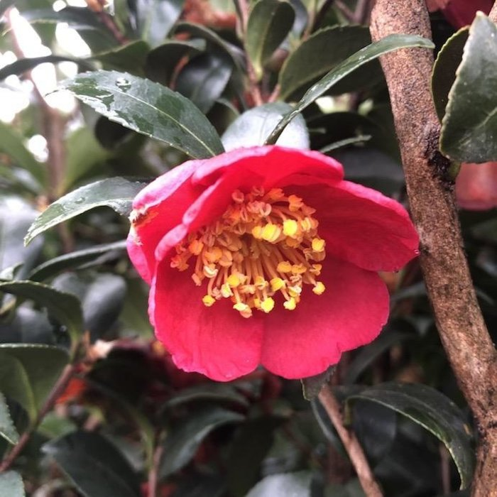#7 Camellia s Yuletide/Red No Warranty