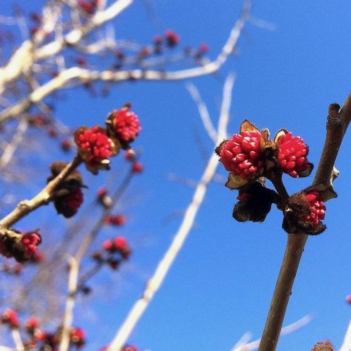 #5 Parrotia persica/Persian Ironwood