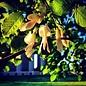 #15 Cladrastis kentukea/American Yellowwood