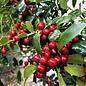 #15 Ilex x Christmas Jewel/Holly
