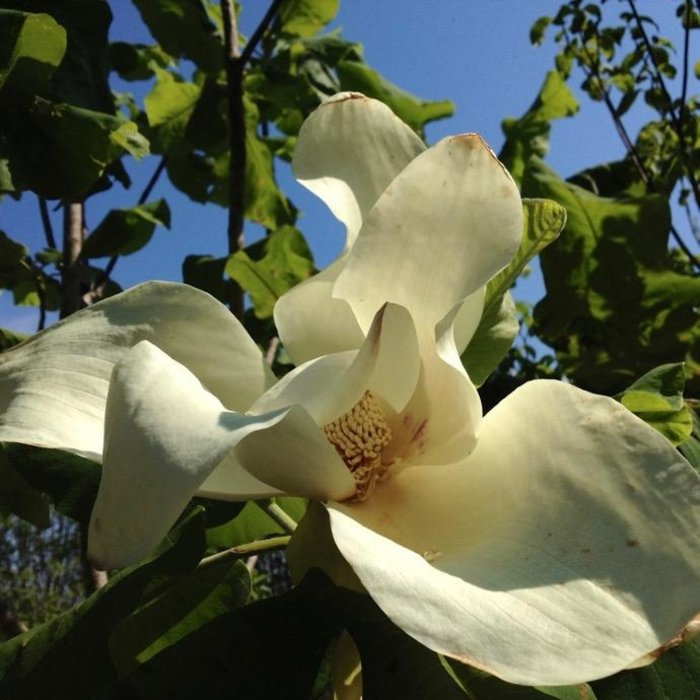 #10 Magnolia ashei/Ashes Deciduous Bigleaf