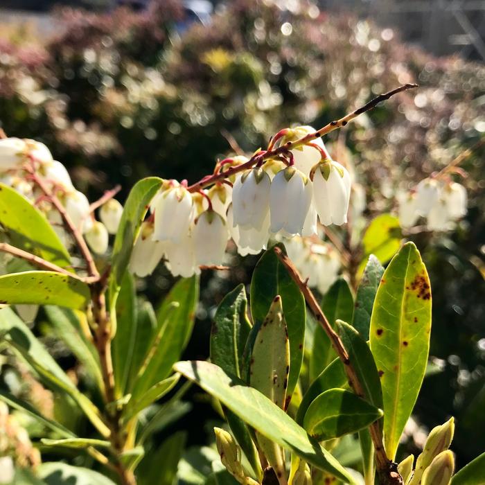 #3 Pieris japonica Mountain Snow/White