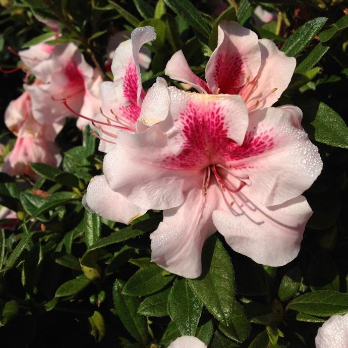 #3 Azalea Encore Autumn Chiffon/Repeat/pale pink,pink bi color