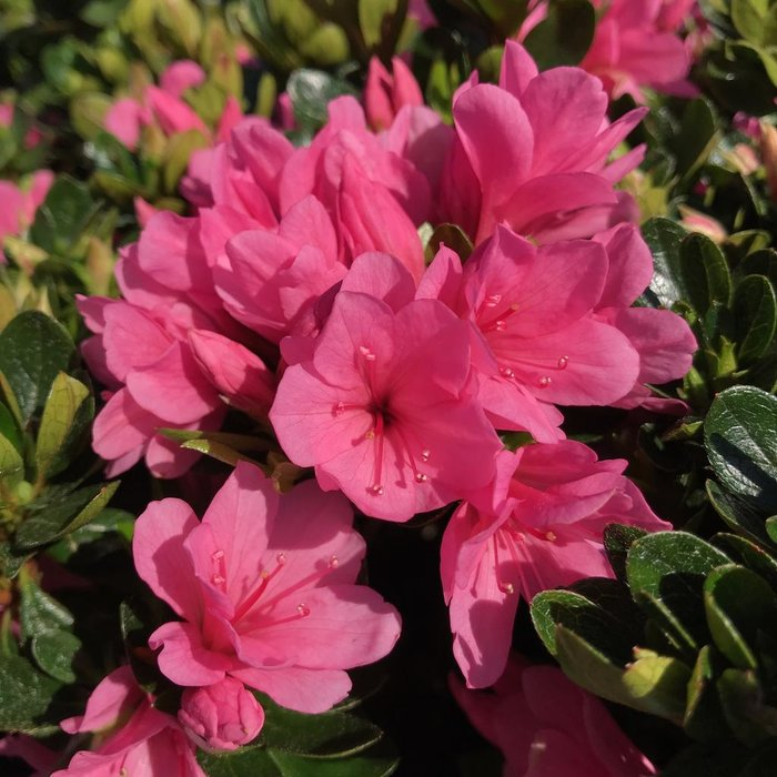 #3 Azalea k Coral Bells/Pink