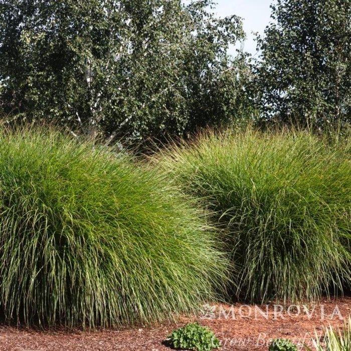 #1 Grass Miscanthus sine Gracillimus/Maiden