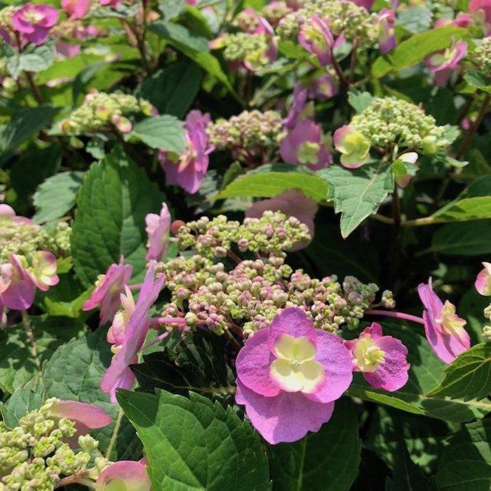 #7 Hydrangea ser Tuff Stuff/Mountain/Lacecap Rebloom Blue to Pink