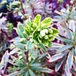 #1 Euphorbia x martinii 'Ascot Rainbow'/Spurge