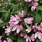 #3 Deutzia Yuki Cherry Blossom