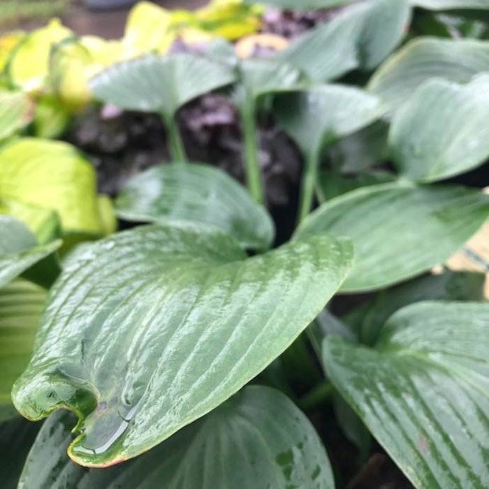#1 Hosta Blue Angel
