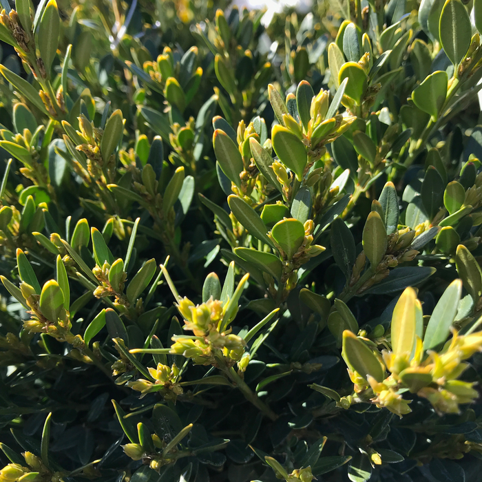 #1 Buxus Green Gem/Dwarf Boxwood
