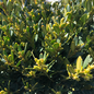 #1 Buxus Green Gem/Dwarf Boxwood