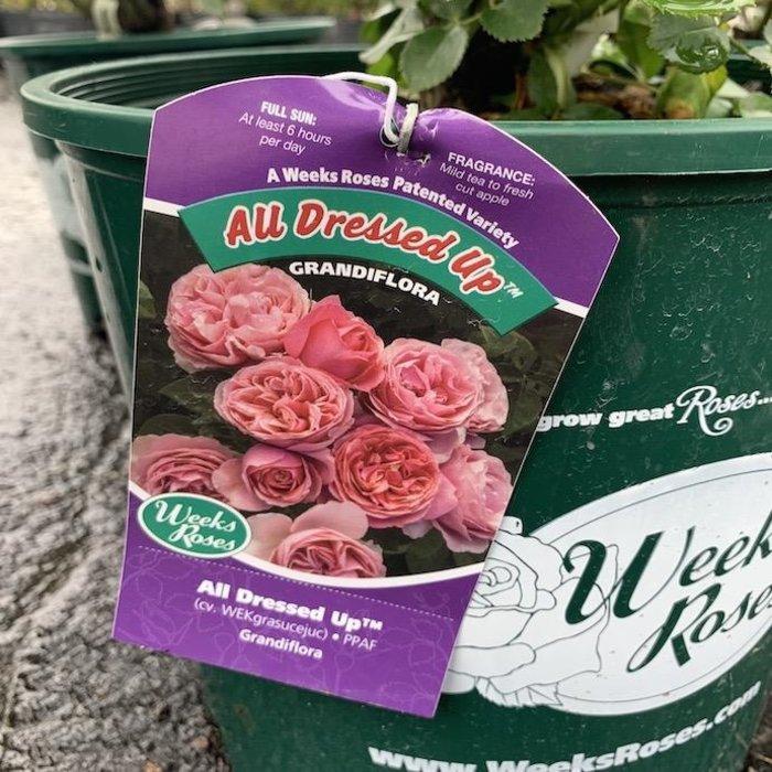#3 Rosa x 'All Dressed Up'/Grandiflora Rose Pink NO WARRANTY