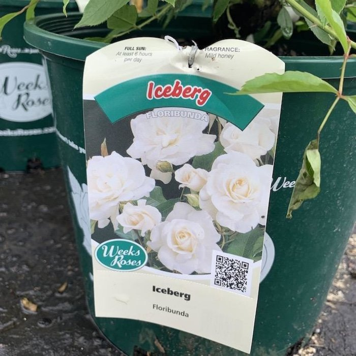 #3 Rosa Iceberg/Floribunda Rose White NO WARRANTY