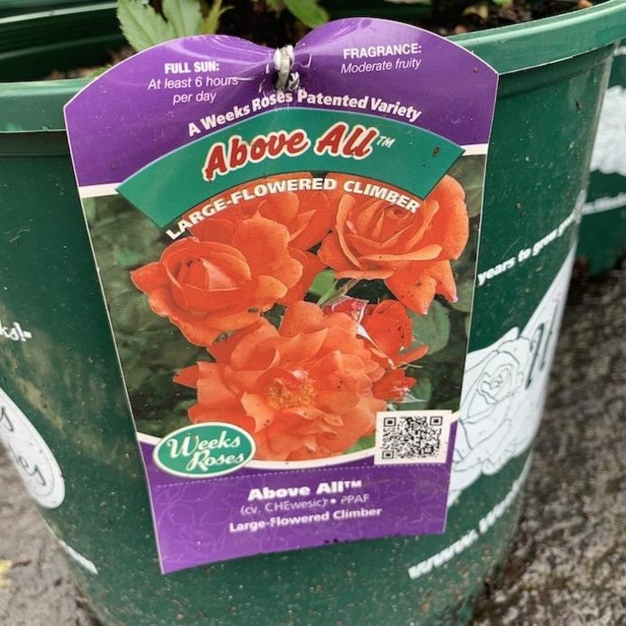 #3 Rosa Above All/Climbing Rose Orange NO WARRANTY