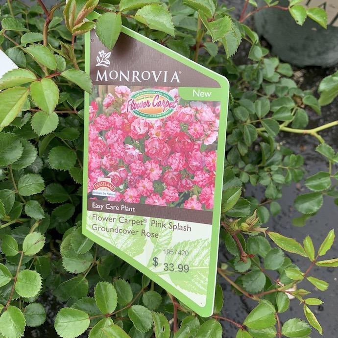 #2 Rosa Flower Carpet Pink Splash/Rose NO WARRANTY