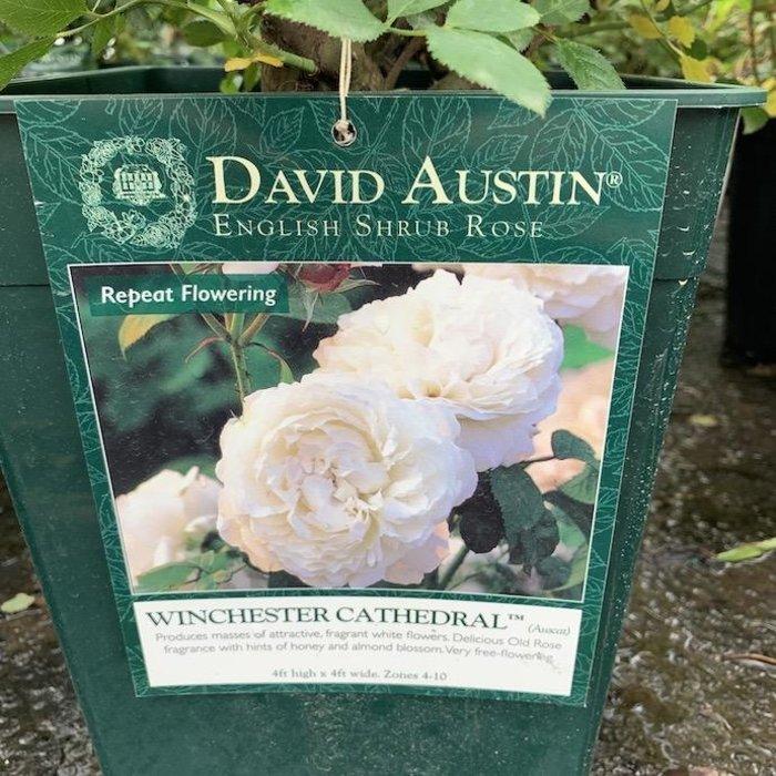 #3 Rosa Winchester Cathedral/David Austin Rose NO WARRANTY