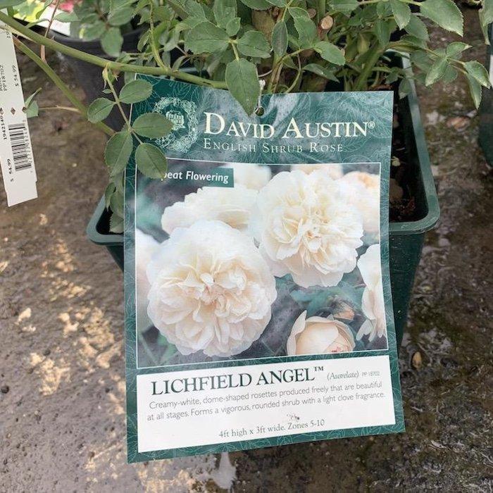 #3 Rosa Lichfield Angel/David Austin Rose NO WARRANTY