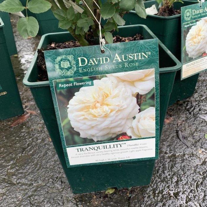 #3 Rosa Tranquility/David Austin Rose White NO WARRANTY