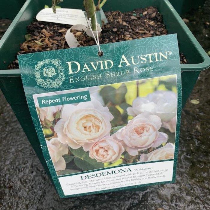 #3 Rosa Desdemona/David Austin Rose NO WARRANTY