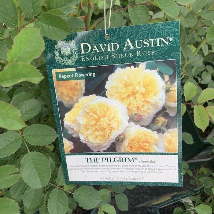 #3 Rosa The Pilgrim/David Austin Rose Yellow NO WARRANTY