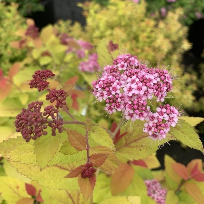 8P Spiraea japonica /Double Play Gold