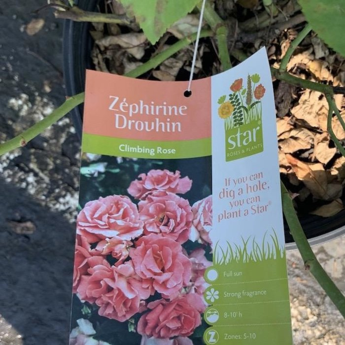 #3 Rosa 'Zephirine Drouhin'/Climbing Rose Pink NO WARRANTY