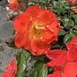 #2 Rosa x Tanabamar/Caramba Shrub Rose NO WARRANTY
