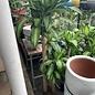10p! Dracaena Massangeana Cane 4,3,2 /Corn Plant /Tropical