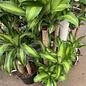 10p! Dracaena Massangeana Cane 3'2'1' / Corn Plant /Tropical