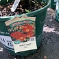#3 Rosa foetida bicolor/Austrian Copper Rose NO WARRANTY