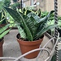 4p! Sansevieria /Mother-in-Law Tongue/Snake Plant /Tropical
