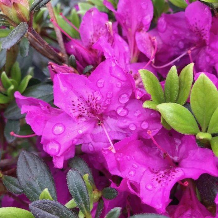 #3 Azalea Girard Karen/Lavender-pink