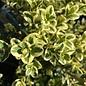 #1 Buxus sempervirens Variegata/Variegated Boxwood