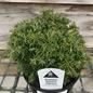 4P Bonsai Starter Chamaecyparis pisifera Cumulus/Sawara Cypress No Warranty