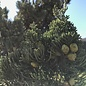 #15 Juniperus chin Blue Point/Chinese Juniper Upright