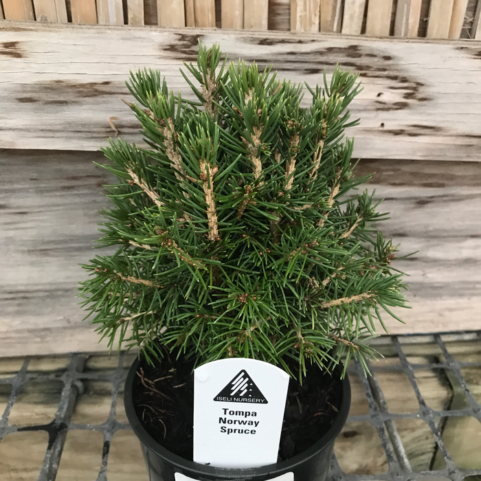 4P Bonsai Starter Picea abies Tompa/Dwarf Norway Spruce No Warranty