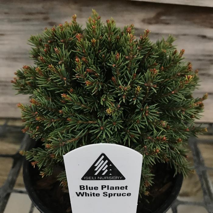 LPP Picea glauca Blue Planet/White Spruce No Warranty