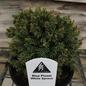 4P Bonsai Starter Picea glauca Blue Planet/White Spruce No Warranty