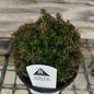4P Bonsai Starter Cunninghamia konishii Little Leo/Chinese Fir No Warranty