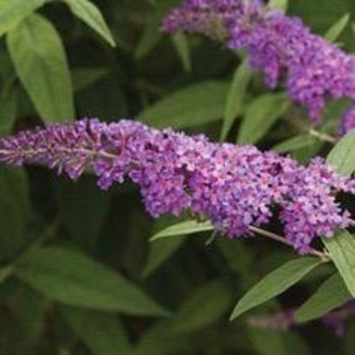 #3 Buddleia Nanho Purple/Butterfly Bush
